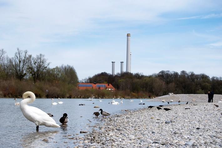 Aves en el río, en Thalkirchen