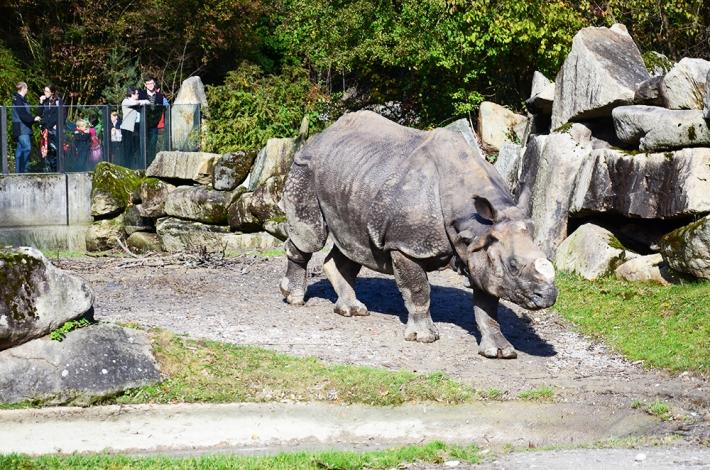 Rinoceronte, observado
