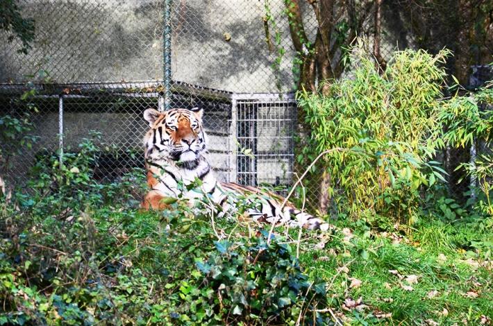 Uno de los dos tigres del parque